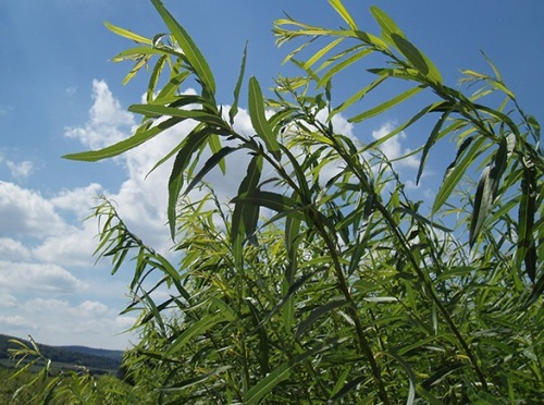 Shrub willow biomass crop.